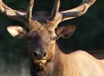 Elk Flourish