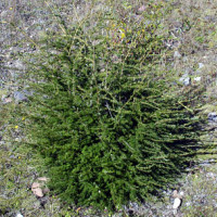 Dense stands of planted grass inhibit tree establishment and browsing elk clip trees.