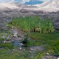 Wetlands formed important oases for colonizing life on the largely barren deposit.
