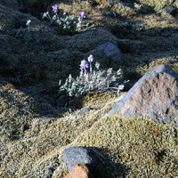 Hardy mosses and well adapted plants like prairie lupine colonized drier, upland areas.