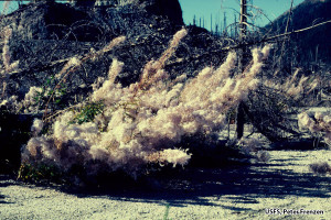 Fireweed produces thousands of light cotton-covered seed that are dispersed by the wind.