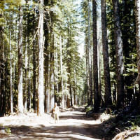 A forest of 150 foot (45 m) fir and hemlock trees covered the valley before the eruption.